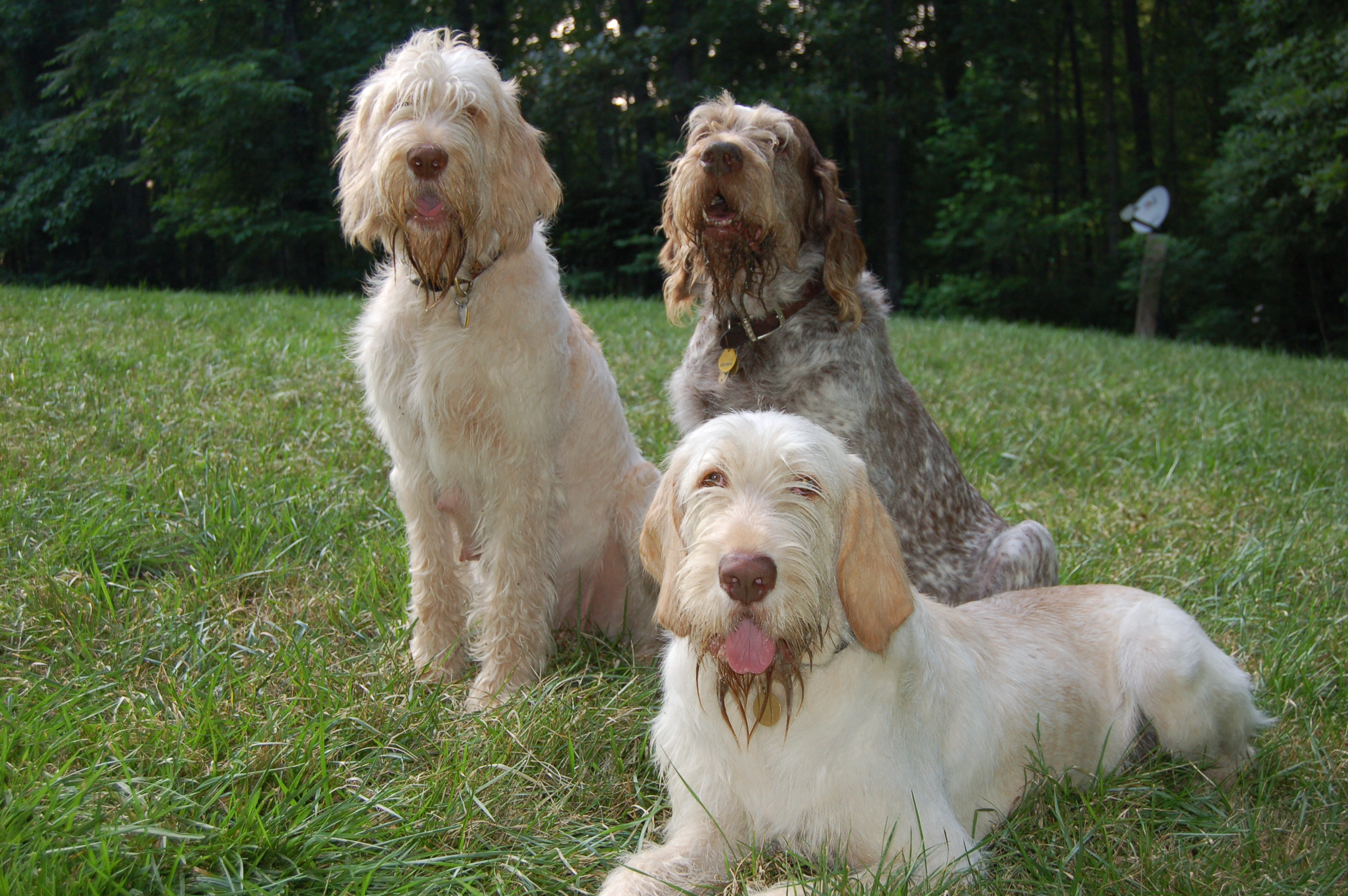 Spinone Italiano Top Italian Breed Dogs.